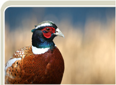 Breeder of hatching pheasant eggs, pheasant chicks and live