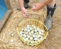 Pheasant eggs hatching - photo#10